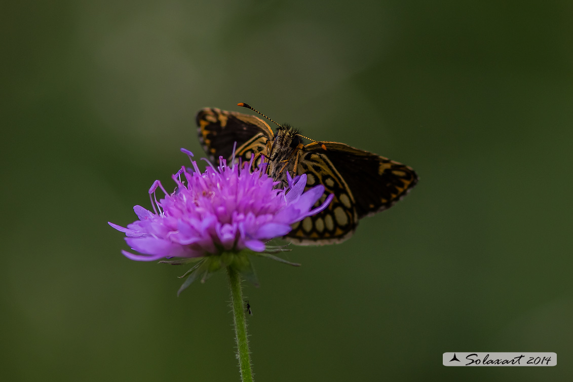Heteropterus morpheus (maschio)  -  Large Chequered Skipper (male)