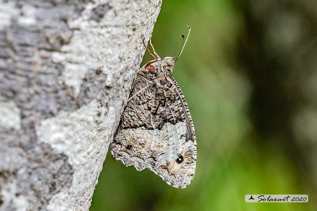 Hipparchia semele - Rock grayling