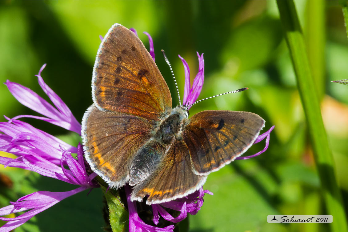 Lycaena eurydame: Licena della verga d'oro (femmina); Scarce copper (female)