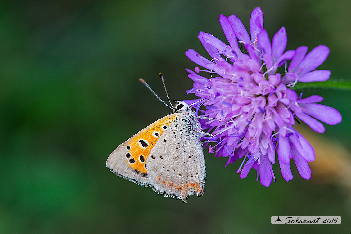 Lycaena phlaeas : Argo bronzeo ; Small Copper
