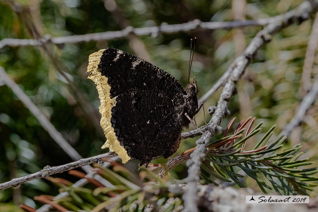 Nymphalis antiopa - Vanessa antiopa - Mourning cloak or Camberwell Beauty