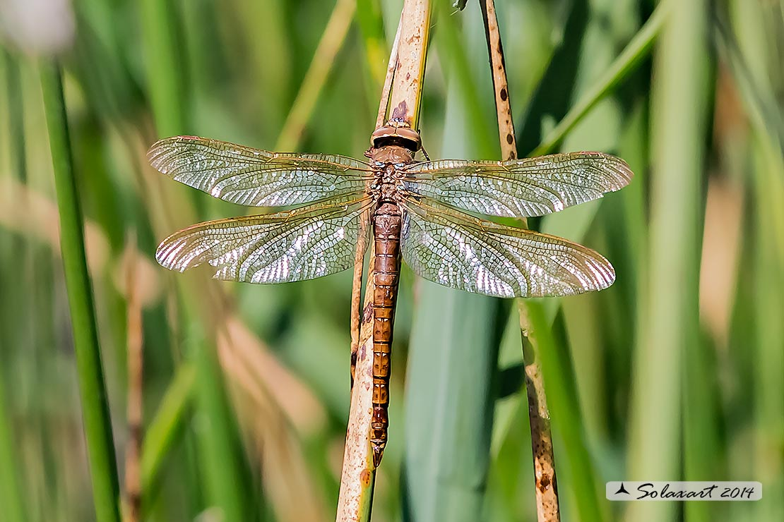 Aeshna grandis  (femmina in ovodeposizione)   -  Brown Hawker  (female during oviposition)