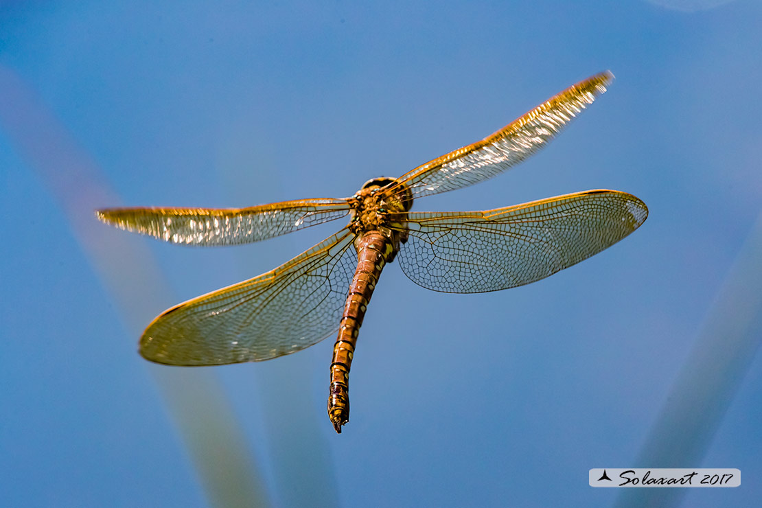 Aeshna grandis:  Dragone bruno (femmina)   ;    Brown Hawker  (female)