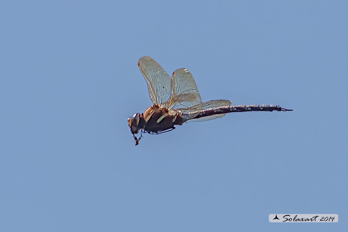 Aeshna grandis  (maschio)   -  Brown Hawker  (male)