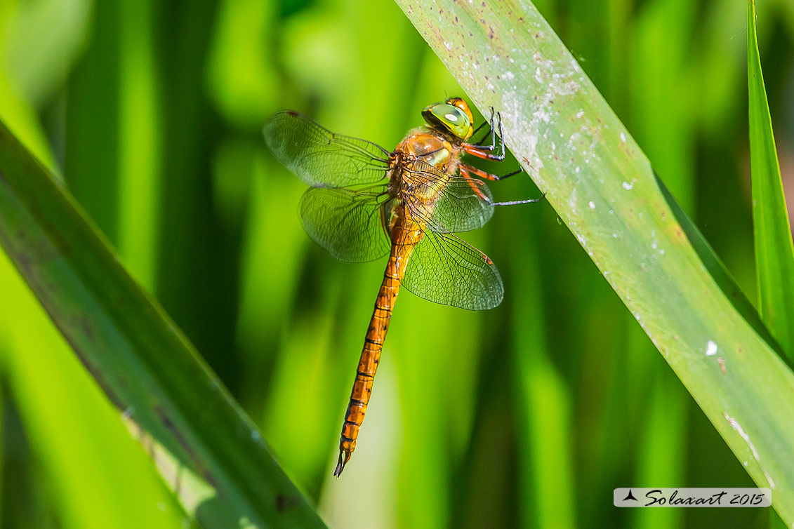Aeshna isosceles    (maschio)   -    Green-eyed Hawker  (male)