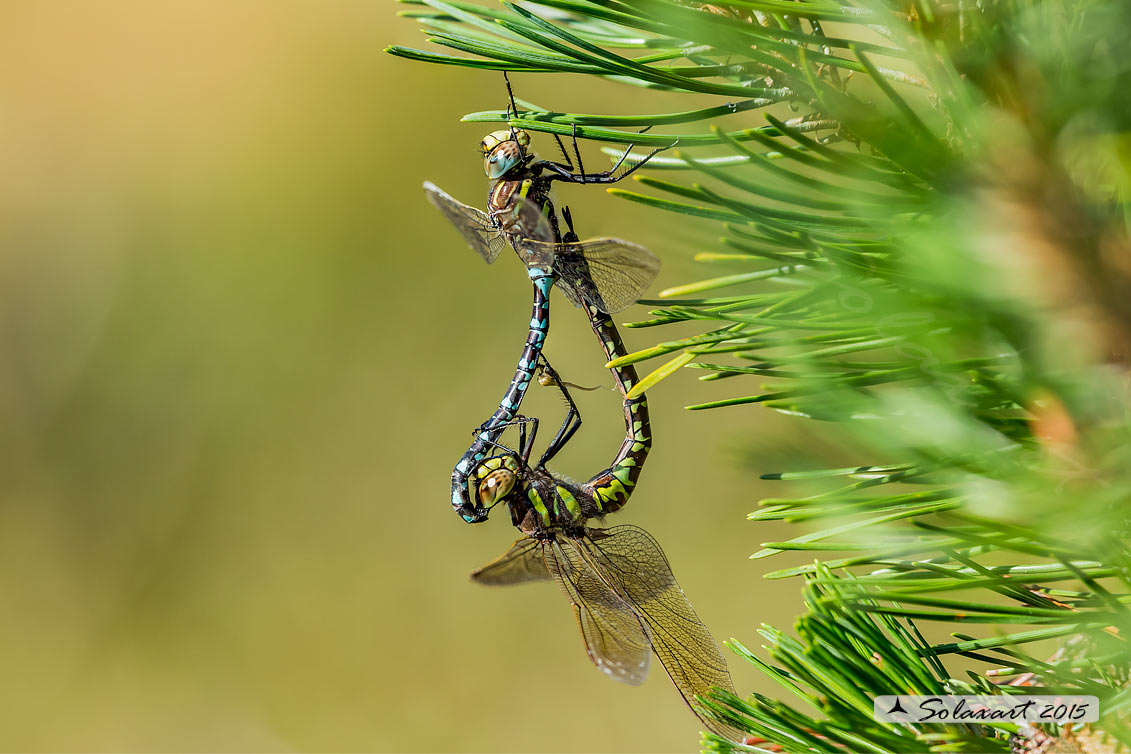 Aeshna juncea:   Dragone alpino (copula);   Common Hawker or Sedge Darner (mating)