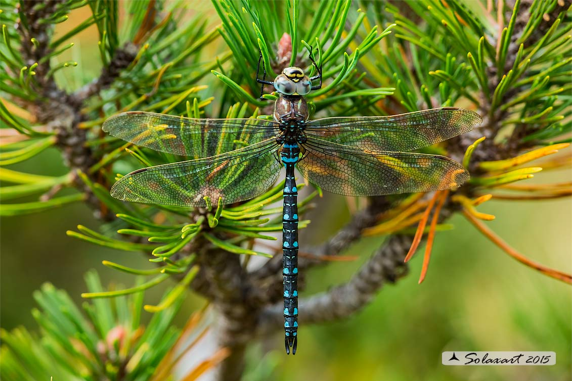 Aeshna juncea    (maschio)   -   Common Hawker or Sedge Darner   (male)