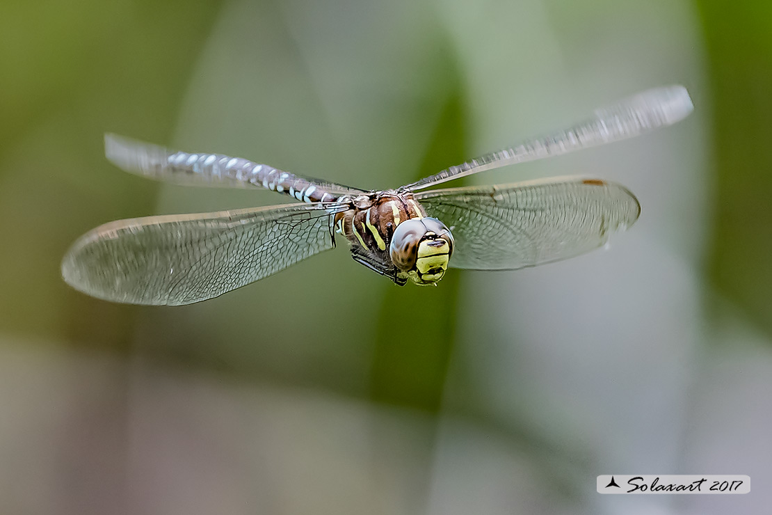 Aeshna juncea :   Dragone alpino (maschio)   ;   Common Hawker or Sedge Darner   (male)