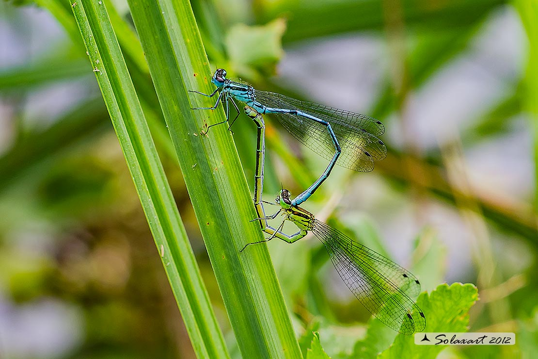 Coenagrion puella  (copula) - Azure Damselfly  (copula)  with parasitics