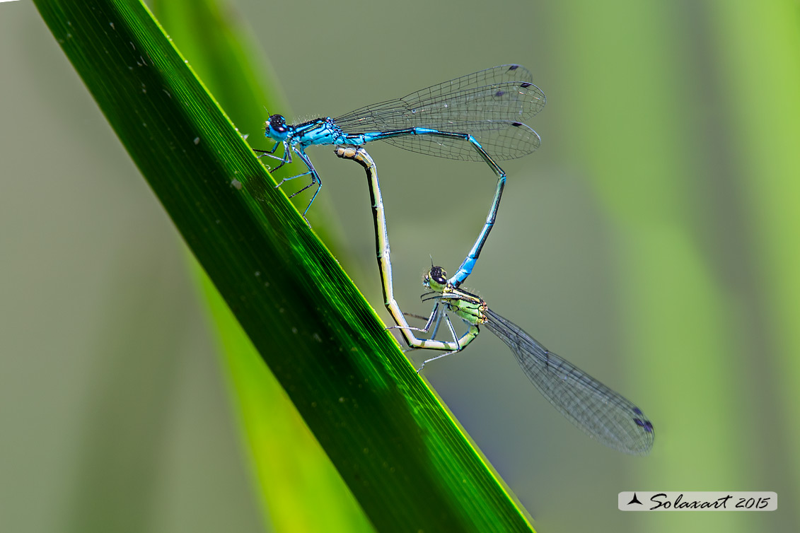 Coenagrion Pulchellum (copula) - Damigella variabile  - Variable Bluet or Variable Damselfly (mathing)