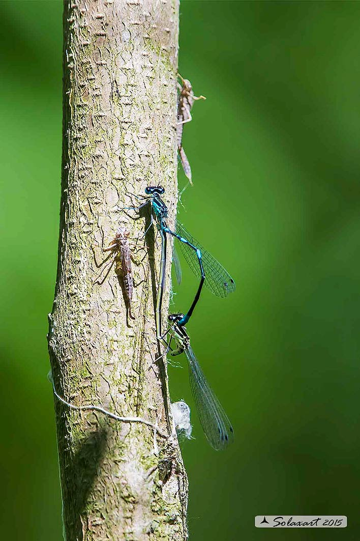 Coenagrion pulchellum: Damigella variabile(copula) - Variable Bluet or Variable Damselfly (mating)