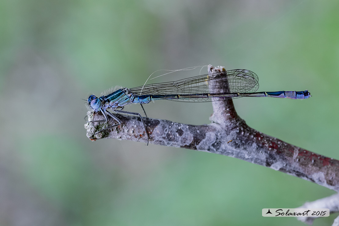 Coenagrion pulchellum: Damigella variabile (femmina immatura) - Variable Bluet or Variable Damselfly (female teneral)