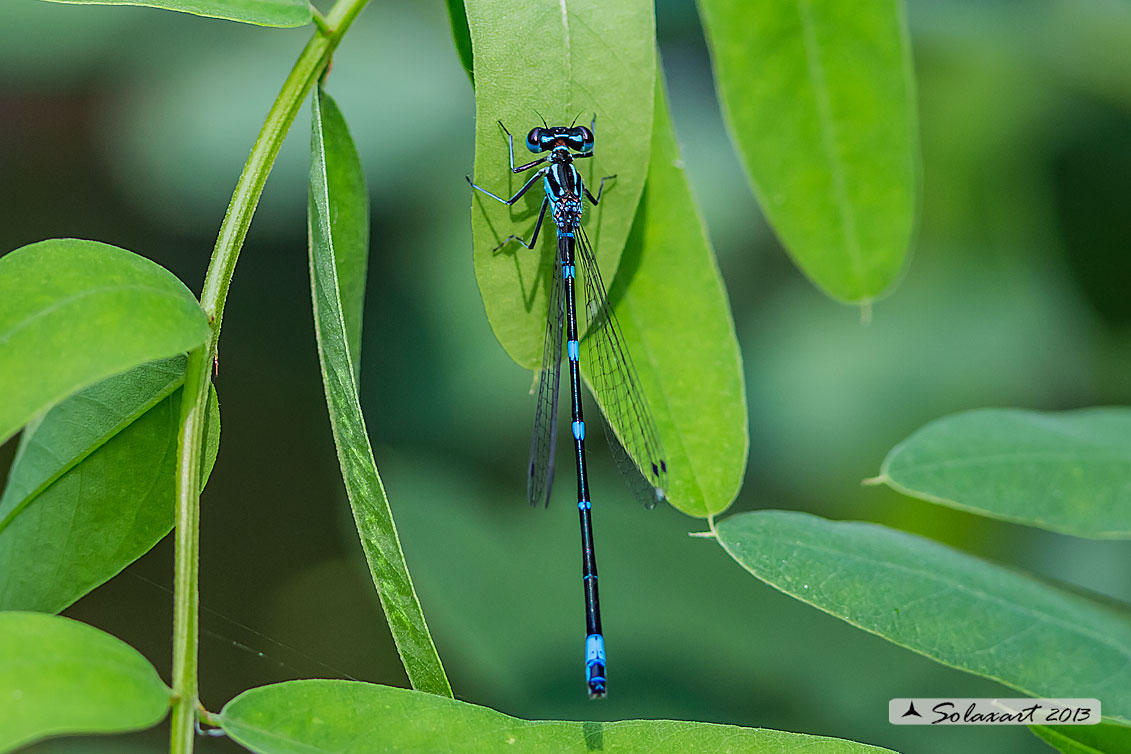 Coenagrion pulchellum: Damigella variabile (maschio)   ;  Variable Bluet or Variable Damselfly (male)