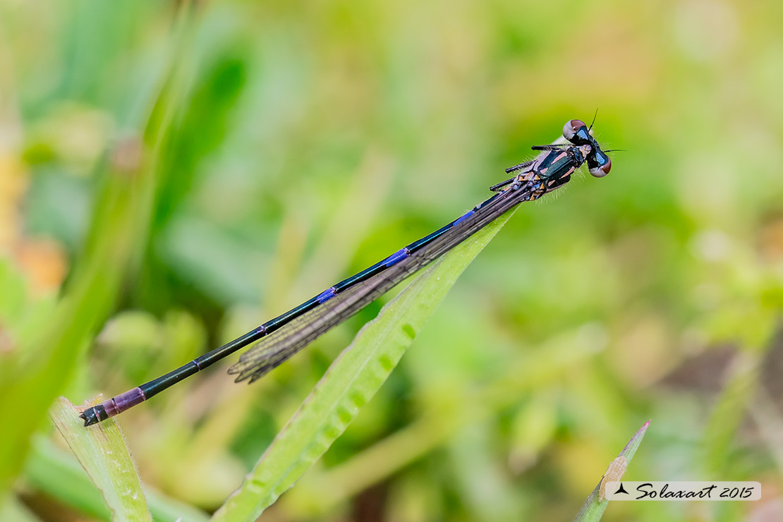 Coenagrion pulchellum: Damigella variabile (maschio immaturo) - Variable Bluet or Variable Damselfly (male teneral)