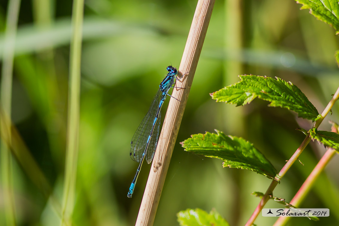 Coenagrion Pulchellum (maschio) - Damigella variabile  - Variable Bluet or Variable Damselfly (male)