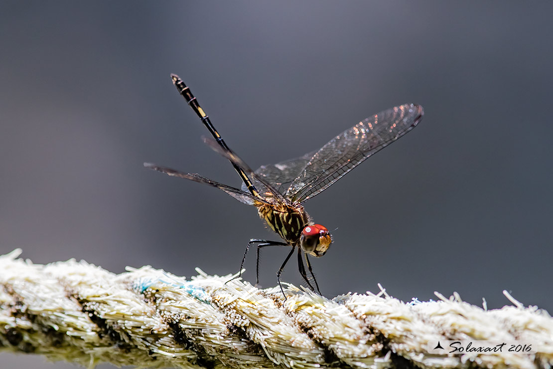 Dythemis sterilis: Brown Setwing (male)