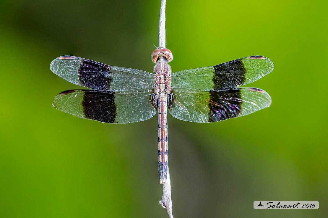Erythrodiplax umbrata :     Band-winged Dragonlet (female)