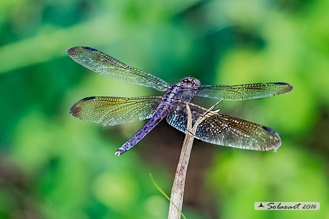 Erythrodiplax umbrata :     Band-winged Dragonlet (old female)
