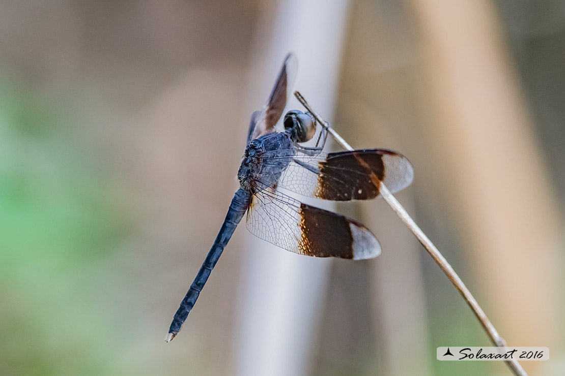 Erythrodiplax umbrata :     Band-winged Dragonlet (male)