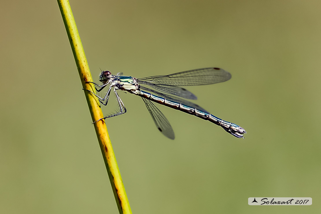 Lestes dryas    (femmina)   ;    Emerald Damselfly (female)
