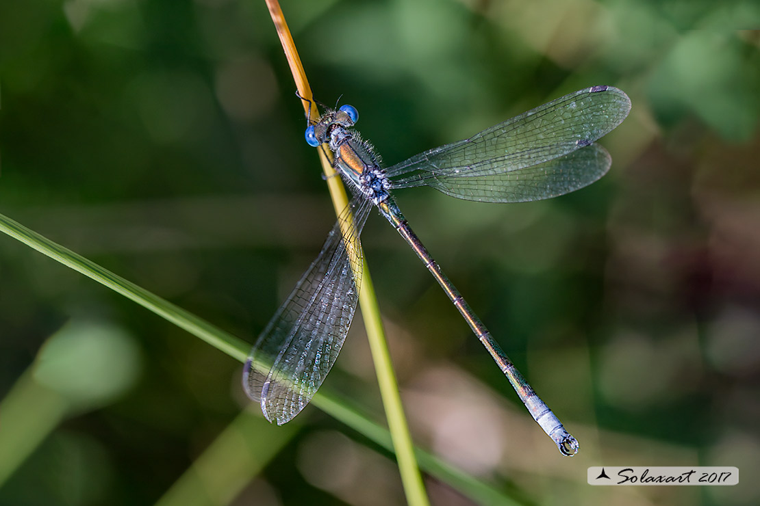 Lestes dryas    (maschio)   ;    Emerald Damselfly (male)