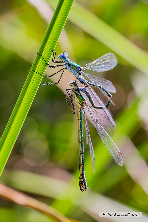Lestes dryas :  (preliminari per l'accoppiamento) ;   Emerald Damselfly (Preliminary for the coupling)
