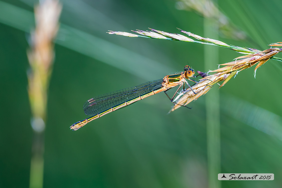 Lestes virens  (femmina)  -  Small Emerald Damselfly or Small Spreadwing  (female)