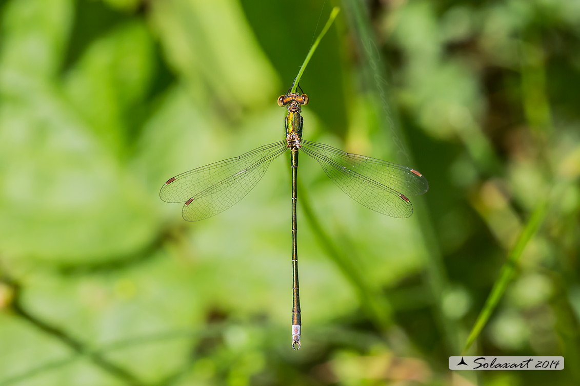 Lestes virens  - Small Emerald Damselfly or Small Spreadwing