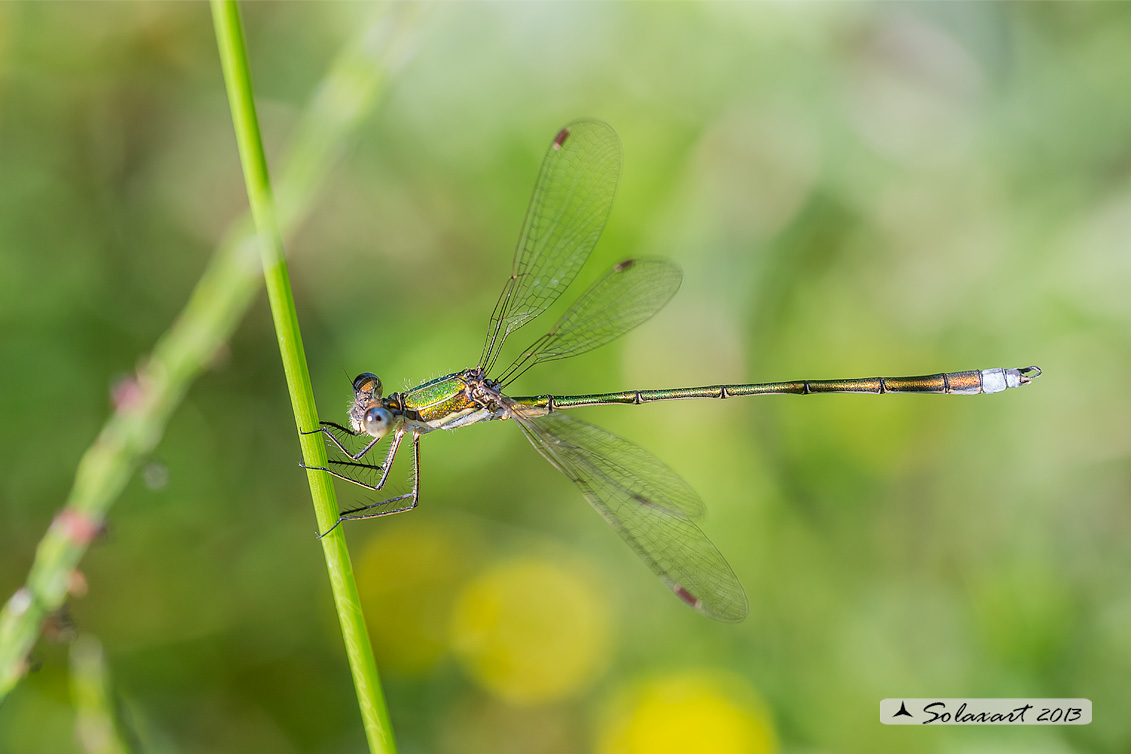 Lestes virens  (maschio)  -  Small Emerald Damselfly or Small Spreadwing  (male)
