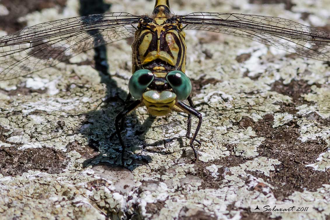 Onychogomphus forcipatus (maschio) - Small Pincertail or 'Green-eyed Hook-tailed Dragonfly' (male)