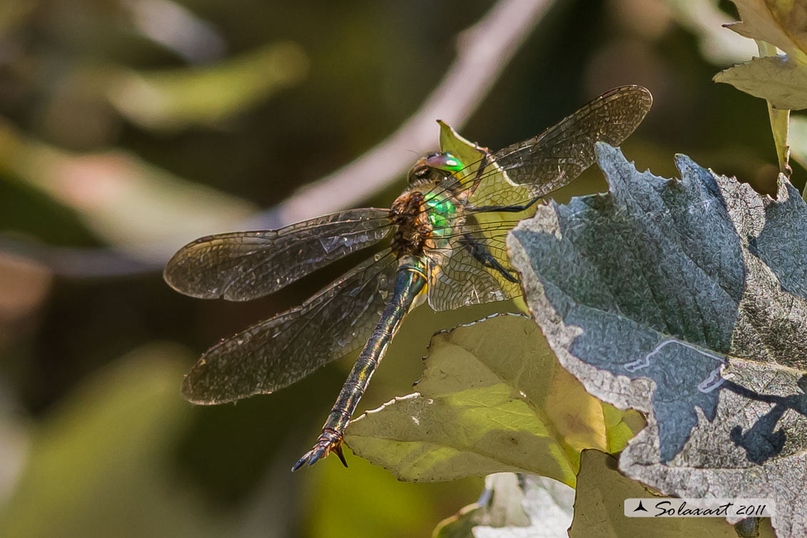 Somatochlora metallica (femmina) - Brilliant Emerald  (female)