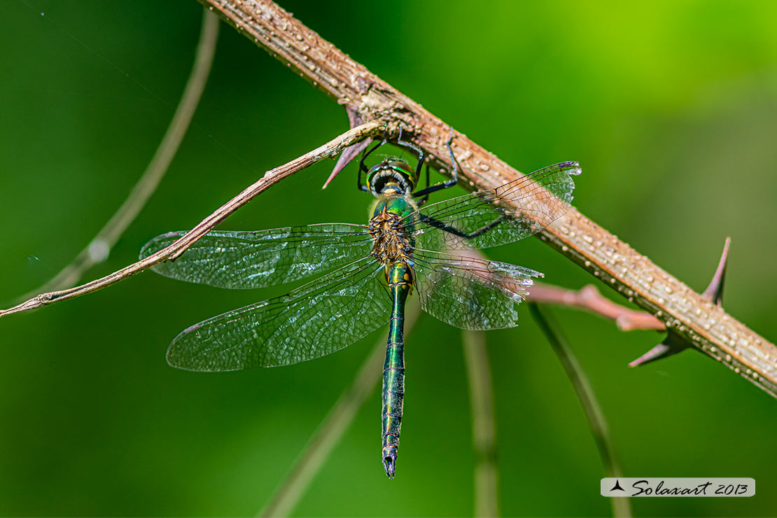 Somatochlora metallica  (maschio) - Brilliant Emerald  (male)