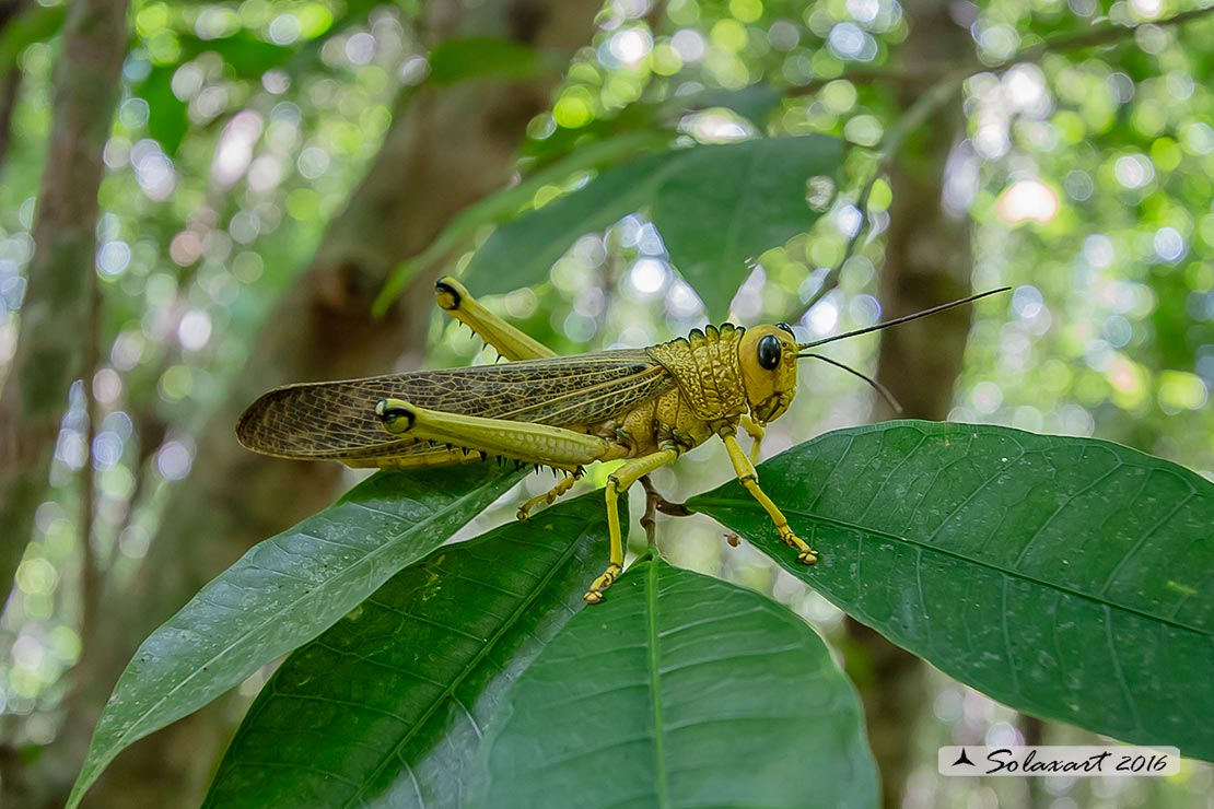 Tropidacris collaris :  Common Giant grasshopper