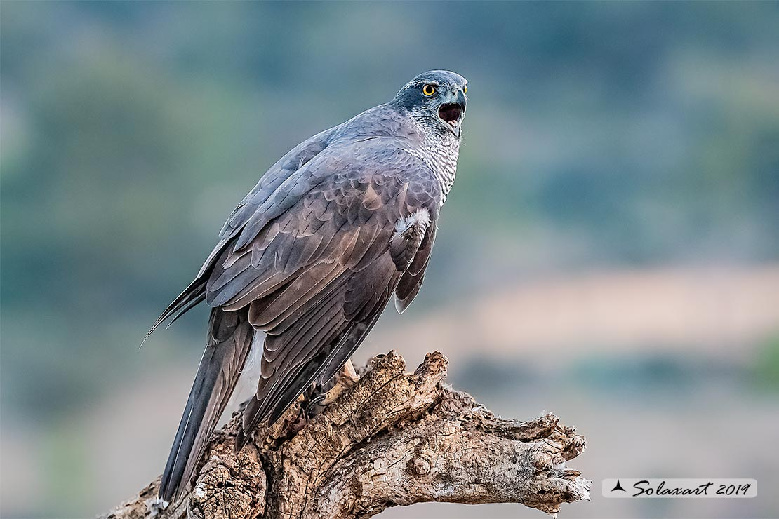 Accipiter gentilis - Astore - Northern Goshawk