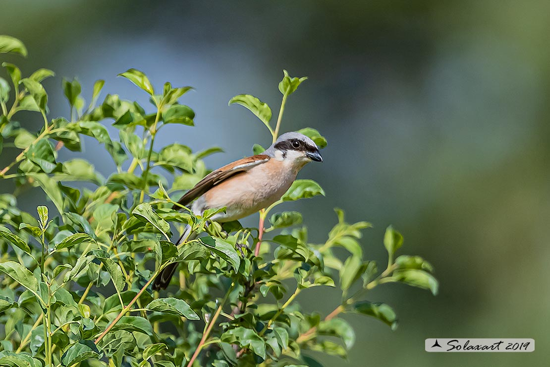 Lanius collurio: Averla piccola; Red-backed Shrike