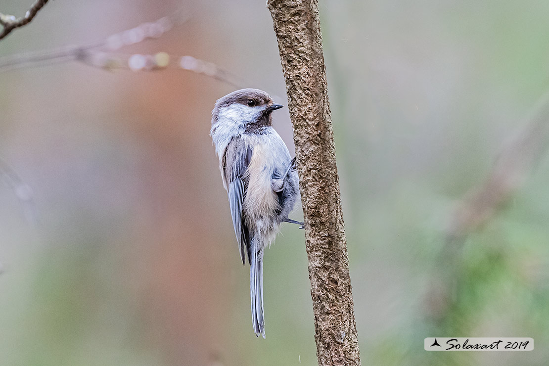 Poecile cinctus: Cincia siberiana; Grey-headed chickadee