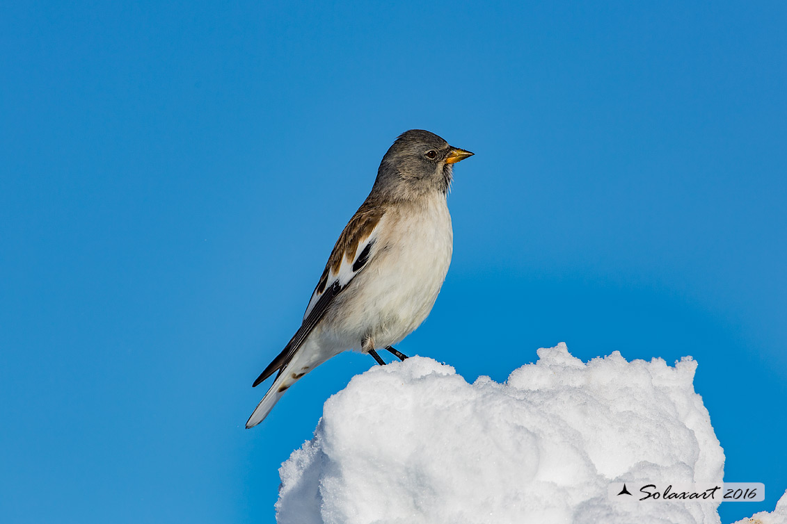 Montifringilla nivalis:  Fringuello alpino (maschio) ;  White-winged Snowfinch (male)