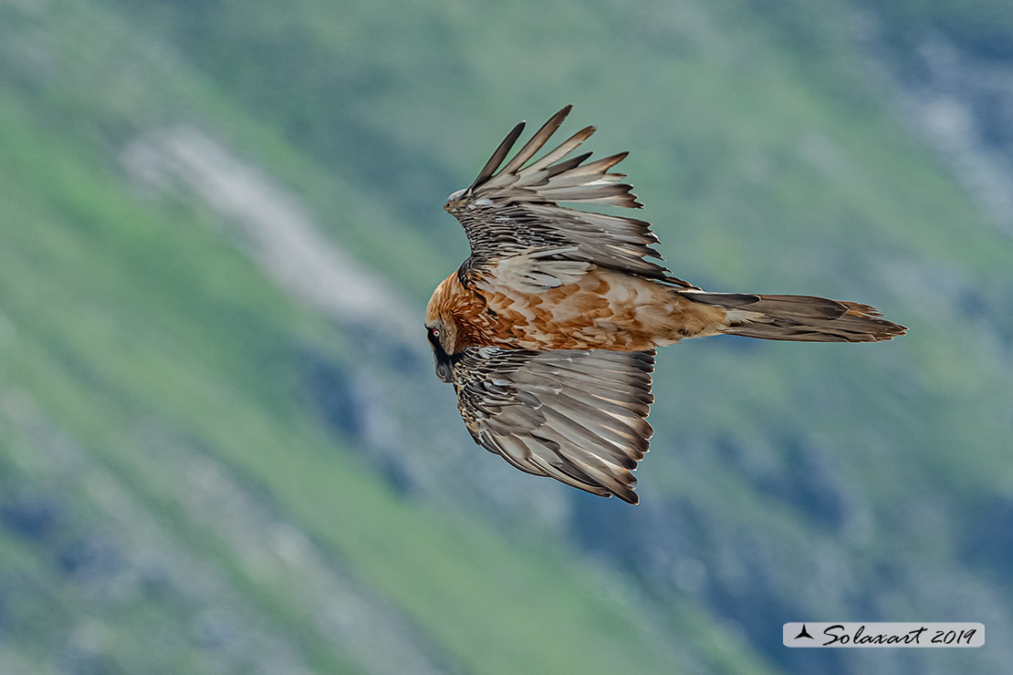 Gypaetus barbatus  -  Gipeto  - Bearded vulture