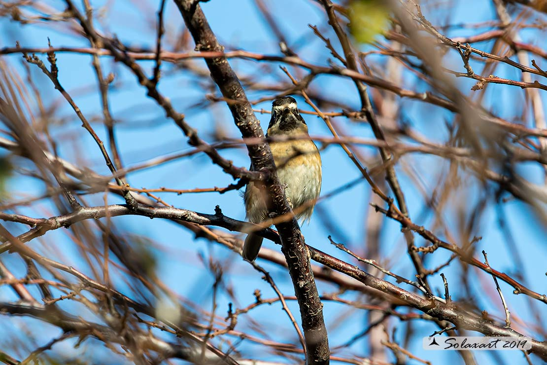 Prunella atrogularis: Passera scopaiola golanera; Black-throated accentor